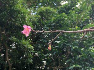 咲きかけの寒緋桜